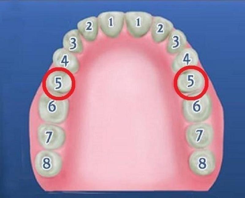 Vị trí của răng số 5 trên cung hàm