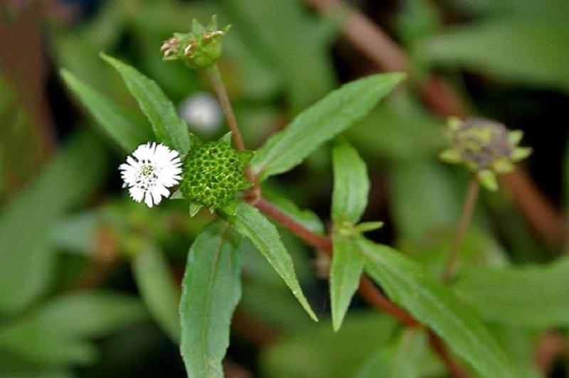Cây cỏ mực có công dụng trong việc giải độc, thanh nhiệt