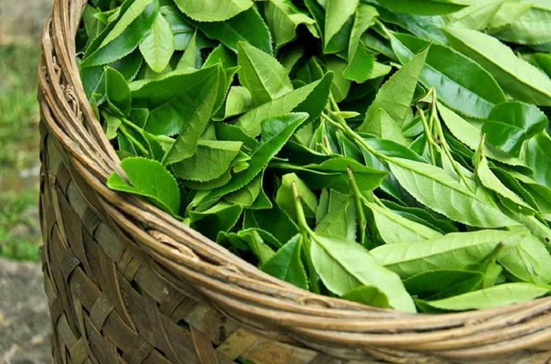 Lá trà xanh có tác dụng trị hôi miệng hiệu quả