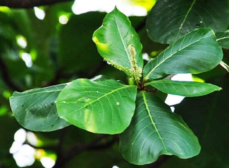 Trong lá bàng có chứa nhiều hợp chất như Phytosterol, Saponin, Tercatin, Punicalagin