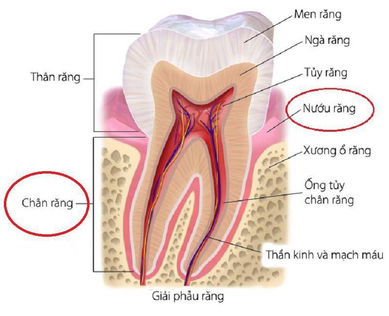 Chân răng sẽ có cấu tạo khác nhau tùy theo từng loại jaw