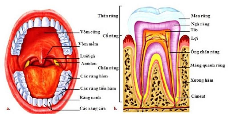 Chi tiết vị trí các răng và cấu tạo của răng