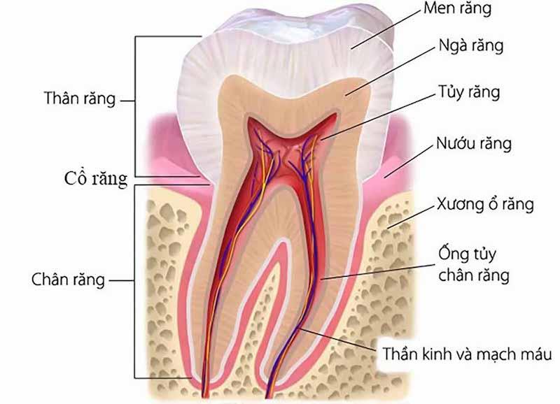 Cấu tạo chi tiết của răng hàm